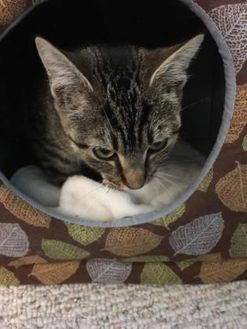 Domestic Shorthair/Domestic Shorthair Mix Cat for adoption in New Freedom, Pennsylvania - Romulus