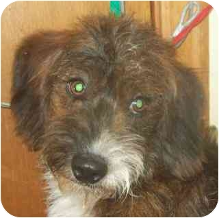 Poodle (Standard)/Terrier (Unknown Type, Small) Mix Dog for adoption in Edon, Ohio - Landon...ADOPTED