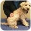 Photo 1 - Bichon Frise/Cocker Spaniel Mix Puppy for adoption in La Costa, California - Dash
