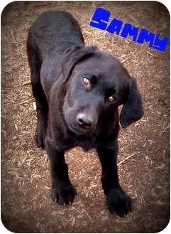 Labrador Retriever/Golden Retriever Mix Puppy for adoption in Watertown, South Dakota - Sammy