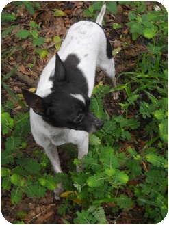 Chihuahua Dog for adoption in Weeki Wachee, Florida - Tinker
