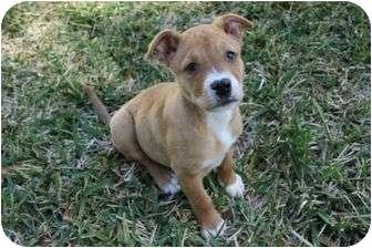 Bulldog Mix Puppy for adoption in Seminole, Florida - Ginger