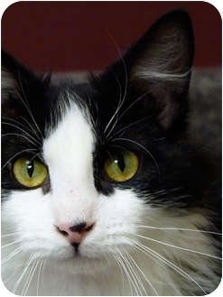Domestic Shorthair Cat for adoption in Chicago, Illinois - Elvis Presley