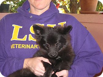 Pomeranian Puppy for adoption in Allentown, Pennsylvania - Dominic