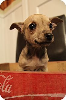 Chihuahua Mix Puppy for adoption in Wytheville, Virginia - Lola
