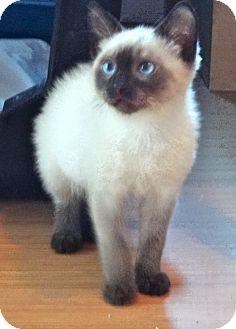 Siamese Kitten for adoption in Escondido, California - Wojoe