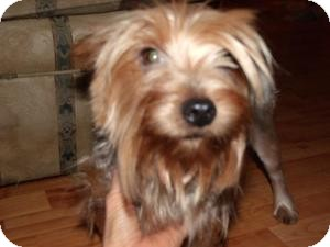 Yorkie, Yorkshire Terrier Mix Dog for adoption in Rocky Mount, North Carolina - Babs