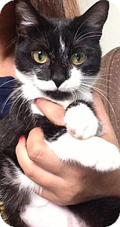 Domestic Shorthair Cat for adoption in Riverside, California - Moustheo