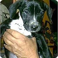 Adopt A Pet :: Mercedes - dewey, AZ