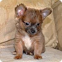 Adopt A Pet :: Trig - Westfield, IN