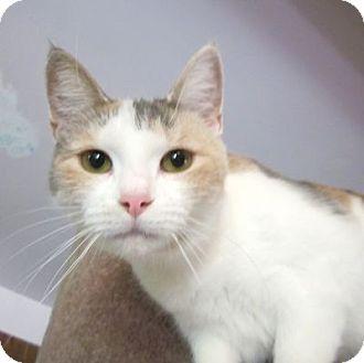 Calico Cat for adoption in Lyons, New York - Kim