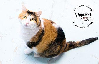 Calico Cat for adoption in Belton, Missouri - Gingerbread