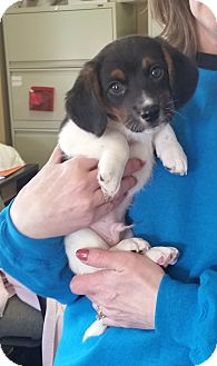 Beagle Mix Puppy for adoption in Freeport, New York - Skip
