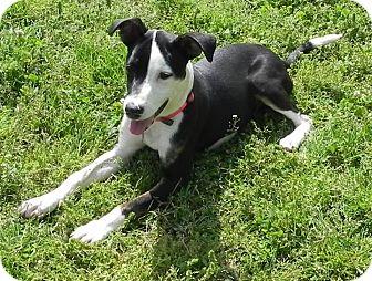Labrador Retriever Mix Dog for adoption in Nanuet, New York - Patsy Cline