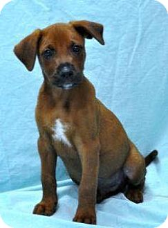 Mountain Cur Mix Puppy for adoption in East Hartford, Connecticut - George 1 in CT