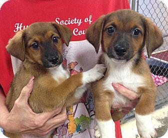 Beagle/Terrier (Unknown Type, Medium) Mix Puppy for adoption in Greensburg, Pennsylvania - Bella