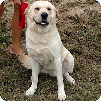 Labrador Retriever Mix Dog for adoption in Minneapolis, Minnesota - Buddy