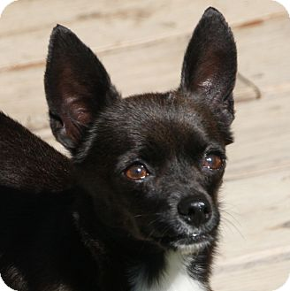 Chihuahua Mix Dog for adoption in Edmonton, Alberta - Tate
