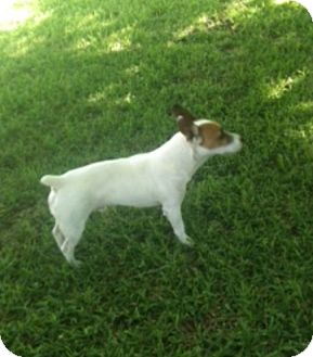 Jack Russell Terrier Dog for adoption in San Antonio, Texas - Atkins in Austin