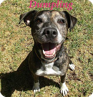 Pit Bull Terrier Mix Dog for adoption in El Cajon, California - Dumpling