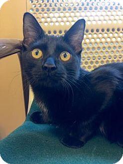 Domestic Shorthair Kitten for adoption in Cumming, Georgia - Larry