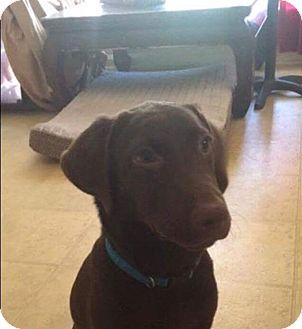 Labrador Retriever Mix Puppy for adoption in Garner, North Carolina - Ruby