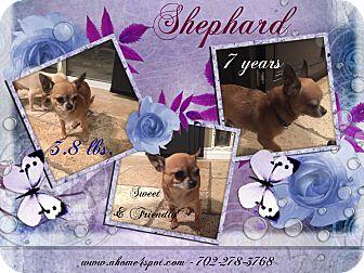 Chihuahua Mix Dog for adoption in Las Vegas, Nevada - Shephard