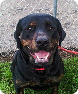 Rottweiler Mix Dog for adoption in Chico, California - YOGI BEAR