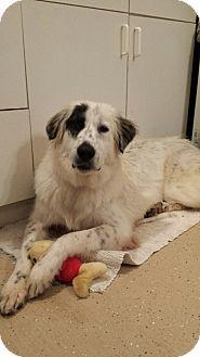 Great Pyrenees/Anatolian Shepherd Mix Puppy for adoption in Scottsdale, Arizona - Athena
