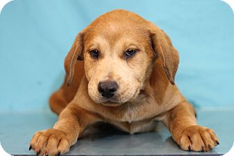 Mastiff Mix Puppy for adoption in Waldorf, Maryland - Andrew