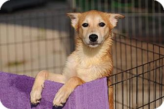 Siberian Husky/Collie Mix Puppy for adoption in Bowie, Maryland - Haili - ON HOLD - NO MORE APPLICATIONS