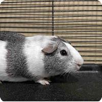 Adopt A Pet :: *Urgent* Dreamy - Fullerton, CA