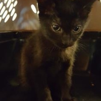 Domestic Shorthair/Domestic Shorthair Mix Cat for adoption in Mesquite, Texas - Dillan