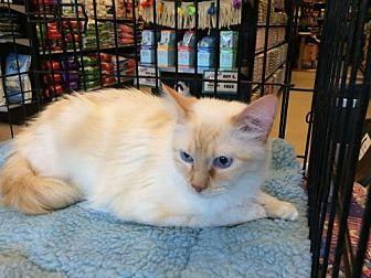 Balinese Cat for adoption in Austin, Texas - Custard