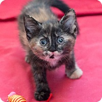 Adopt A Pet :: Tortie - Chicago, IL