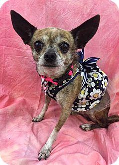 Chihuahua Mix Dog for adoption in Lake Elsinore, California - June