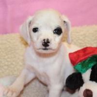 Adopt A Pet :: Cora - Statesboro, GA