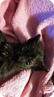 Domestic Shorthair Kitten for adoption in Armuchee, Georgia - Frosty Feet