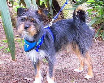 Brussels Griffon/Terrier (Unknown Type, Small) Mix Puppy for adoption in Redondo Beach, California - Skylar is just a puppy!