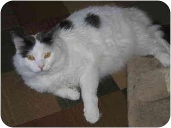 Domestic Mediumhair Cat for adoption in North Boston, New York - Marshmallow