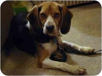 Beagle Dog for adoption in Palatine, Illinois - PETEY