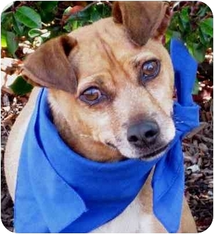 Terrier (Unknown Type, Small) Mix Dog for adoption in San Diego, California - Willis