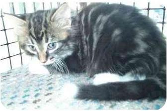 Domestic Mediumhair Kitten for adoption in Acme, Pennsylvania - Maxwell