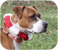 Boxer/American Pit Bull Terrier Mix Dog for adoption in Staunton, Virginia - Shiripa