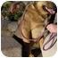 Photo 2 - Corgi/Cattle Dog Mix Dog for adoption in Thatcher, Arizona - Coco