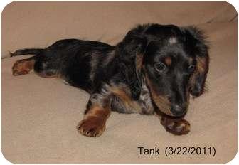 Dachshund Puppy for adoption in Beaufort, South Carolina - Tank
