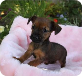 Yorkie, Yorkshire Terrier/Chihuahua Mix Puppy for adoption in Newport Beach, California - MARGO