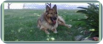 Collie/German Shepherd Dog Mix Dog for adoption in Trabuco Canyon, California - Stevie