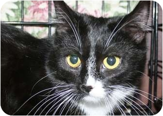 Domestic Shorthair Cat for adoption in Frederick, Maryland - Annie