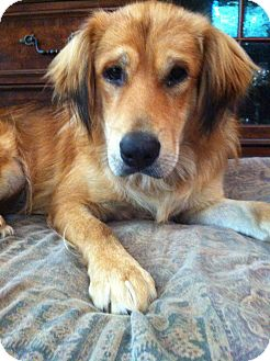 Golden Retriever Mix Dog for adoption in Hagerstown, Maryland - AWESOME Caden